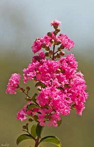 Crepe-myrtle ; Lilas des Indes ; Lagerstroemia Indica