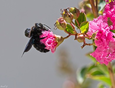 "Violet Carpenter Bee ; Xylocope ou ""abeille charpentière""; Xylocopa violacea"