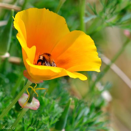 Bombus Mixtus ; Fuzzy-Horned Bumble Bee ; Bourdon à cornes floues