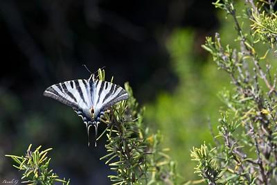 Iberian Swallowtail ( ( or White Sailboat ) ; Flambé Ibérique (ou Voilier Blanc) ; Iphiclides feisthamelii