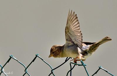 Flight of piaf; Envolée de piaf