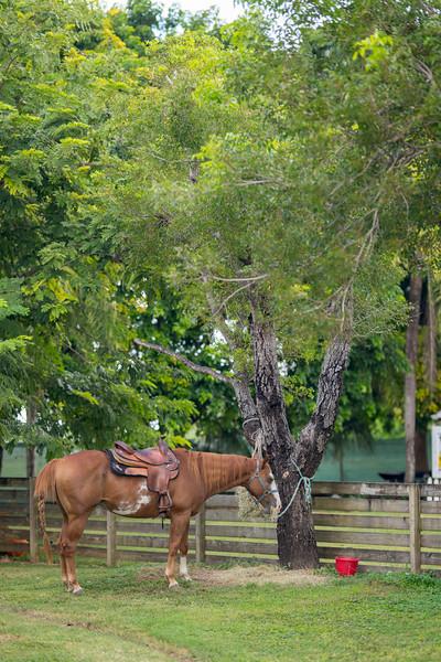 Farm horse tied to a tree