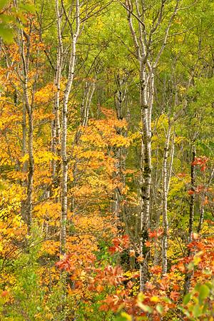 Birch and Maples, Copper Harbor, Michigan