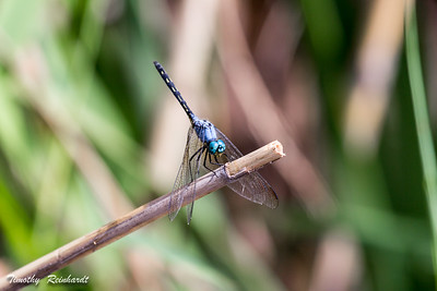 Dragonfly perched delicately on reed, sharp detail