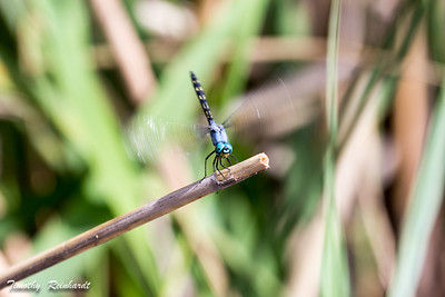 Dragonfly taking-off from reed, wings in motion blur