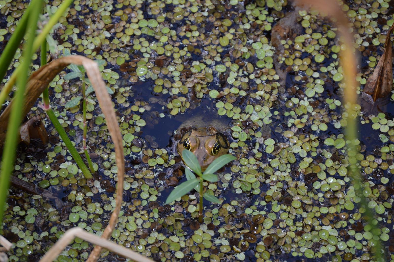 Pig Frog in Duckweed