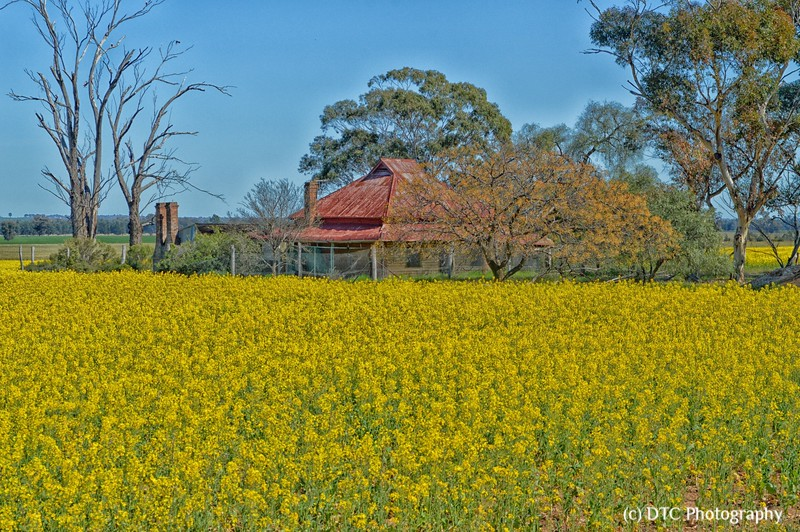 Canola crop, mid west, NSW