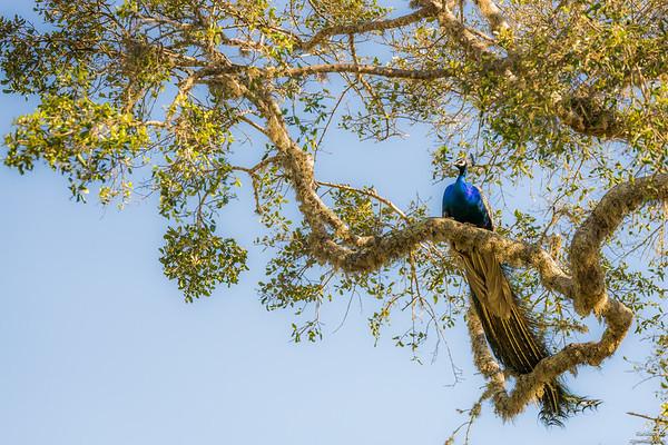 Treetop peacock