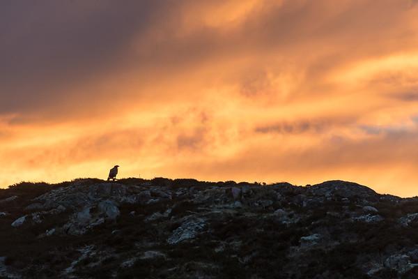 The white tailed sea eagles of Smola