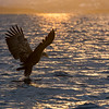 They will carefully scout out a fish in the water then dive with talons out to grasp their prey