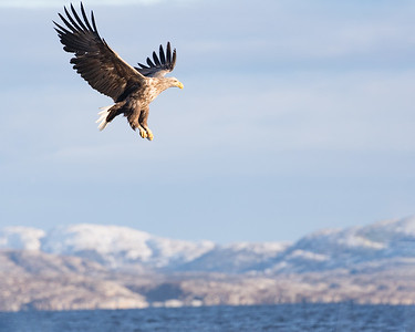 The white tailed sea eagle is a majestic bird in flight
