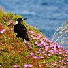 Magpie, Point Nepean