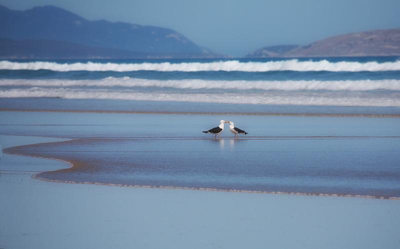 Gulls greeting, Sandy Point, Victoria