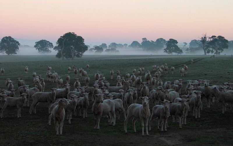 Sheep, Near Ararat