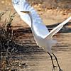 Great Egret - Sepulveda Wildlife Reserve - Nov 2015