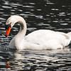 Mirror Pond Swan