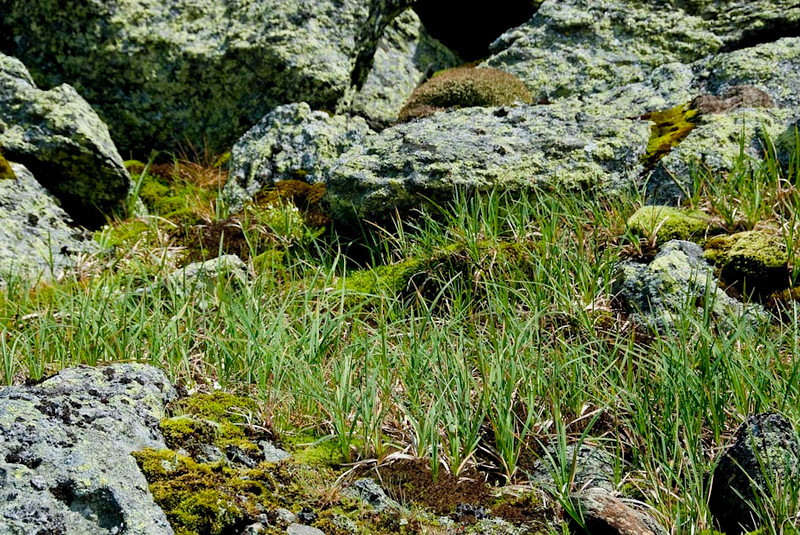 "BIGELOW SEDGE<br /> Carex bigolowii<br /> 	This sedge, the highland rush and some other grass-like growth form much of the ""grass"" that grows throughout the alpine zone. Bigelow sedge is the main growth in many of the meadows found on Mt. Washington and other mountains in the Presidential Range. Jacob Bigelow first identified the sedge as different from other sedges. For this he received the honor of having it named after him.<br /> Features distinguishing members of the sedge family from grasses or rushes are that members of the sedge family have triangular stems (with occasional exceptions), and their leaves are spirally arranged in three ranks (grasses have alternate leaves forming two ranks)."