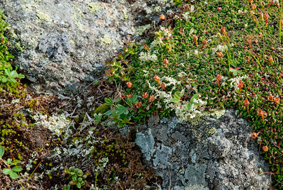 Diapensia Diapensia Lapponica Diapensia is a small evergreen and perennial shrub. It grows only in the alpine zone. The leaves are blunt, leathery and thick. They form dense rosettes which can be very easily mistaken for a moss. In this pictures the flowers have already bloomed, leaving only the stalks