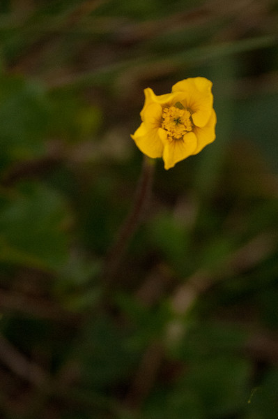 Geum Peckii<br /> <br /> The Mountain Avens is a member of the Rose family. This specific species exists only in the White Mountains and Nova Scotia. [AMC]