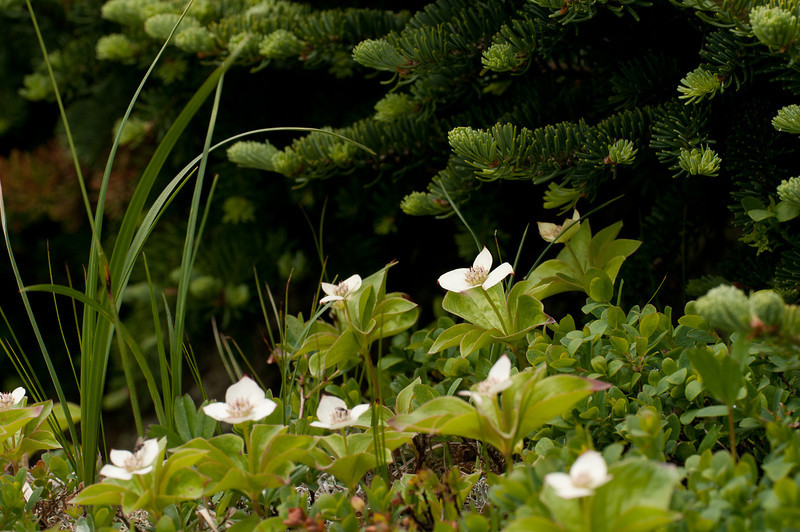 Bunchberry<br /> Cornus Canadensis<br /> <br /> This small bunchberry growth is sheltering under a Balsam Fir.