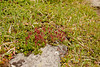 Bearberry Willow with catkin<br /> Salix Uva-ursi<br /> <br /> This picture shows this same willow as a mat growing onto a rock. Again, the tree is protecting itself from the harsh winter weather found in the alpine zone by growing very close to the ground.