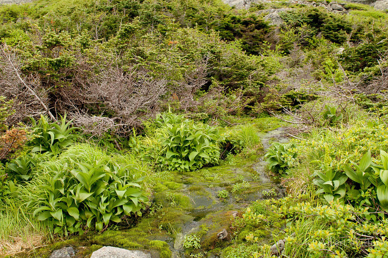 Streamside 1<br /> <br /> Approximately half way between the Huntington Ravine Trail and the Lion's Head trail there is a small stream that crosses the Alpine Garden Trail. Most of the alpine zone is dry. Here there is an abundance of water. With the water comes an abundance of water-loving plants and shrubs, as can be seen in the two pictures. The shrubs also give cover for wildlife, as can be seen above where the Blackpole Warbler has established a nest in the fir trees and is feasting on a butterfly. The warbler had flown no more than 10 to 15 meters away from this spot in order to capture the butterfly. The nest was not more than two meters away from the trail, but it was complete invisible from the trail. A mouse or vole was also seen crossing the Alpine Garden Trail at this place.