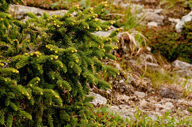 "Balsam Fir<br /> Abies Balsamea<br /> <br /> This picture gives an idea of how the Balsam Fir fits into the harsh environment. It looks and acts more like a shrub than the ""Christmas Tree"" shape that is common in lower elevations"