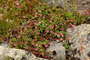 Mountain Cranberry<br /> Vaccinium vitis-idaea<br /> <br /> Although the AMC Guide says that these plants flower from the beginning of June until the end of July, there was one group of them in flower along the alpine garden trail at the end of June.<br /> <br /> The mountain cranberry is another alpine zone plant that is a member of the heath family. The leaves are small, two-lobed, with a waxy covering. The plant apparently keeps its leaves during the winter.