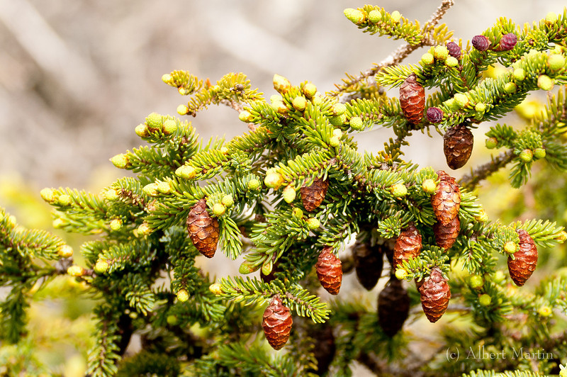 Balsam Fir with cones<br /> Abies Balsamea<br /> <br /> The tree certainly does not look like the Christmas trees that we are accustomed to seeing. The fir has adapted to the harsh climate in the alpine zone and grows more as a mat or as a dwarf tree. In this picture the cones are developed nicely.<br /> <br /> These fir trees are also very evident in the pictures taken around streamside. The Blackpoll Warbler shown above was resting on a balsam fir branch. The nest of the warbler is located inside a small stand of these fir trees. That picture also shows that the trees grow only to about the height of a man. And this is on the protected side of Mt. Washington.<br /> <br /> The tree has a difficult time surviving. Though some of the dead roots make for interesting designs, as seen in other pictures, the total amount of dead roots and branches lay bare the harshness of the alpine environment.