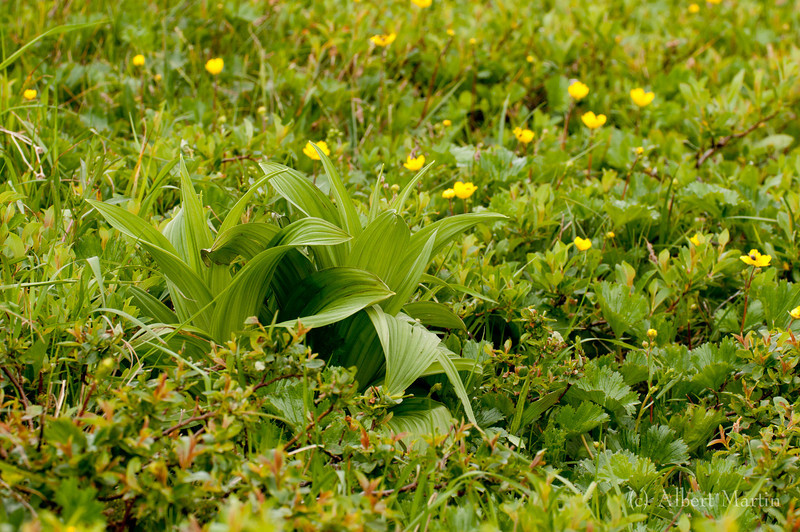 Indian Poke and Mountain Avens<br /> <br /> Indian Poke / False Hellebore<br /> Veratrum viride<br /> <br /> This flower is large and very conspicuous among the other alpine flowers. This picture shows the Indian Poke in a field of Mountain Avens. It certainly gives a good idea of the side of the plant. The plant is common in wetlands, as can be seen in the streamside pictures.