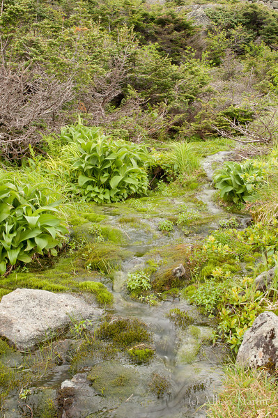 "Streamside<br /> About halfway between the Huntington Ravine trail intersection and the Lion's Head trail intersection is a ""streamside"" community. The stream is a spring which emerged from the cone of Mt. Washington [AMC Guide] and flows across the Alpine Garden Trail"