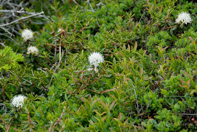 Labrador Tea<br /> Ledum Groenlandicum<br /> <br /> The gorgeous little white balls are the flowers from the Labrador Tea shrub.<br /> Labrador tea is a low shrub with evergreen leaves. The leaves are smooth on top with often wrinkled edges, and fuzzy white to red-brown underneath. The tiny white flowers grow in hemispherical clusters, are very fragrant and are sticky. The plant is a member of the Heath family (Ericaceae).