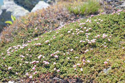 Diapensia Lapponica in Bloom 07