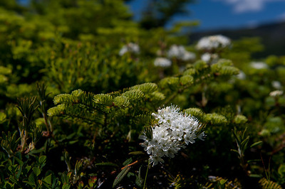 Labrador Tea at 4 Mile Post 1