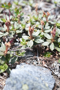 Labrador Tea After Blooming 03