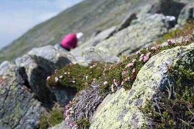 Diapensia In Situ 01