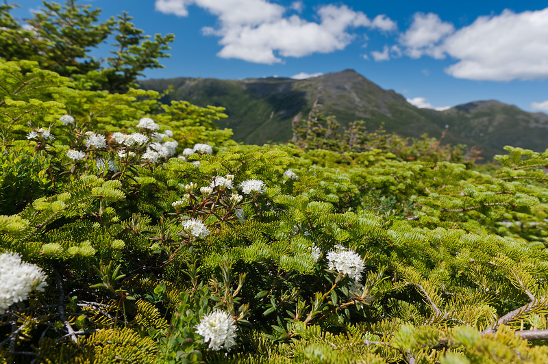 Labrador Tea with Mt Adams 2