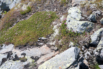Diapensia and Mountain Aster