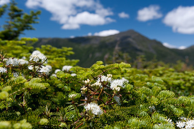 Labrador Tea with Mt Adams 1