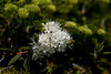 Labrador Tea at 4 Mile Post 2