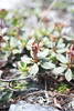 Labrador Tea After Blooming 05
