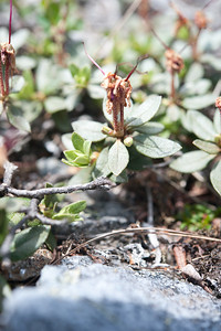 Labrador Tea After Blooming 04
