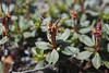 Labrador Tea After Blooming 06