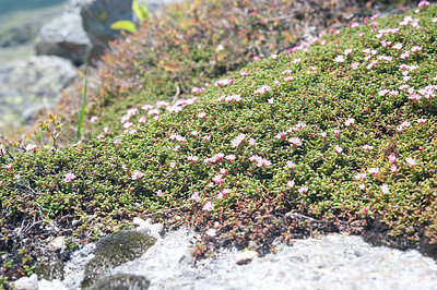 Diapensia Lapponica in Bloom 06