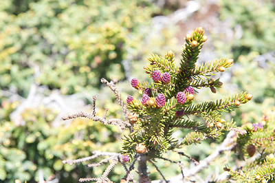 Balsam Fir - Abies Balsamea with new cones 2