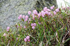 Alpine Flowers 272