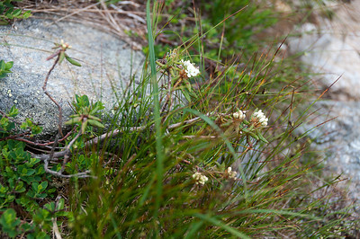 Alpine Flowers 083