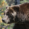 Grizzly Bear (@ Grizzly and Wolf Discovery Center - West Yellowstone)