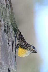 Anolis roquet - Martinique
