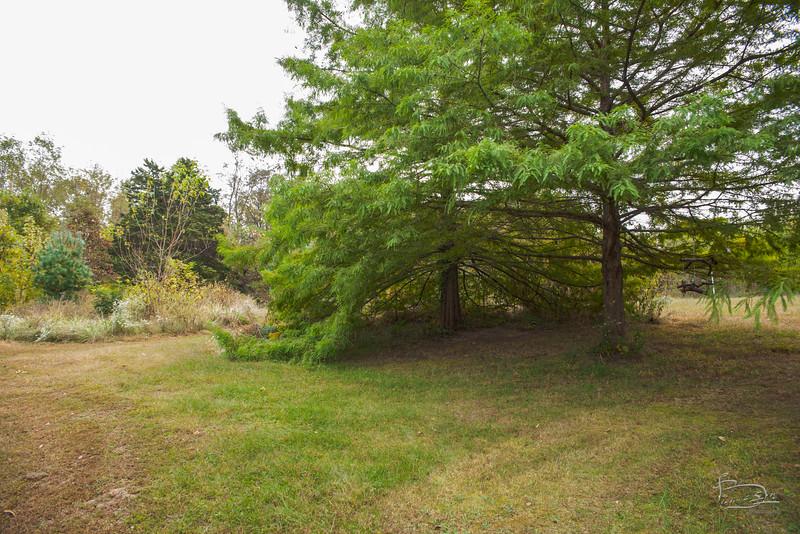 Bald cypress shelter tree
